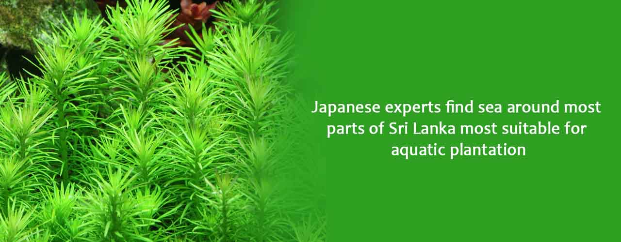 Japanese experts find sea around most parts of Sri Lanka most suitable for aquatic plantation