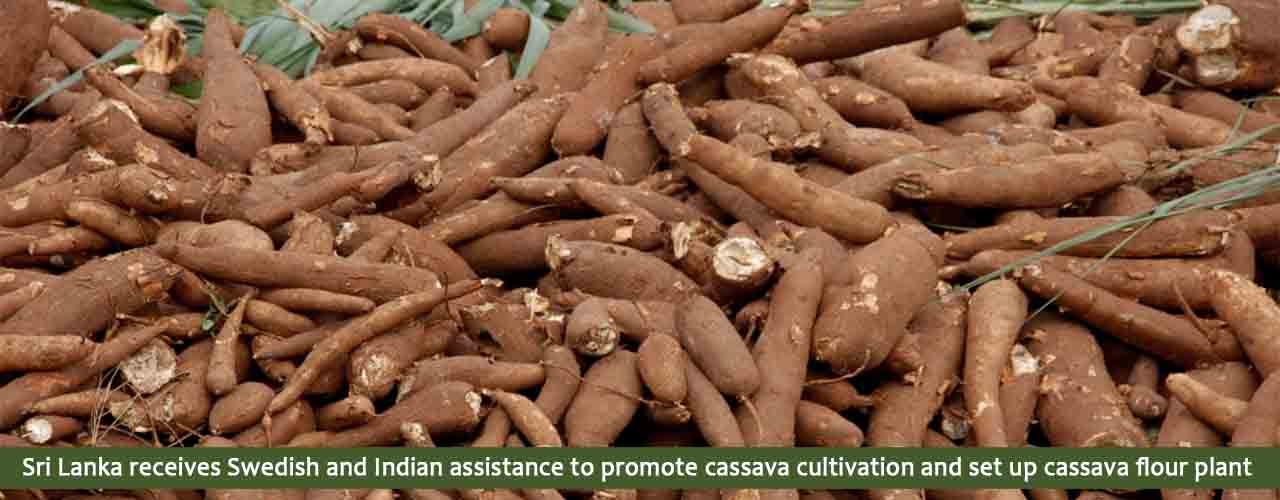 Sri Lanka receives Swedish and Indian assistance to promote cassava cultivation and set up cassava flour plant